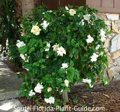 Gardenia Bush Gardenia jasminoides With the ultimate in fragrant flowers, a gardenia bush is one of South Floridas most beloved plants.though it can be a challenge to grow. Florida Landscaping, Florida Gardening, Tropical Landscaping, Landscaping Plants, Tropical Plants, Garden Plants, Landscaping Ideas, Gardenia Bush, Gardenias
