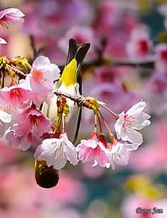 Bird and cherry blossom Vogel Gif, Beautiful Birds, Beautiful Pictures, Cinemagraph, White Eyes, Birds Eye View, Cherry Blossom, Good Morning, Nature