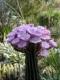 Echinopsis hybrid. Looks like a gigantic cactus bouquet
