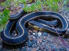 Western Terrestrial Garter Snake by vabbley, via Flickr