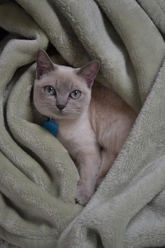 Our Tonkinese cat