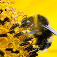 Bumblebees have feelings too! New research reveals that good food puts bees in good mood.