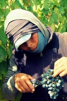 """""""We look after our from the very beginning…"""" says Catena Zapata Mendoza, Grape Picking, Wines, Harvest, Twitter, Awesome, Vintage, Argentina, Beautiful Images"""