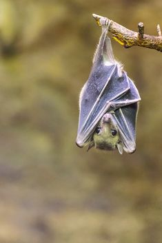 The Egyptian fruit bat or Egyptian rousette is a species of Old World fruit bat. Nature Animals, Animals And Pets, Baby Animals, Cute Animals, Beautiful Creatures, Animals Beautiful, Beautiful Beautiful, Baby Bats, Fruit Bat