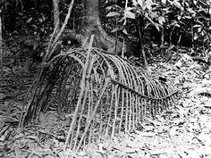 Scrub turkey trap, Far North Queensland rainforest (? Aboriginal Culture, Aboriginal People, Aboriginal Art, Australian Aboriginal History, Australian Artists, Indigenous Education, Indigenous Art, Antique Photos, Old Photos