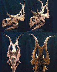 Diabloceratops is my favorite dinosaur. It's name means Devil Horned Head. Discovered in southern Utah in Diabloceratops is my favorite dinosaur. It's name means Devil Horned Head. Discovered in southern Utah in Dinosaur Skeleton, Dinosaur Bones, Dinosaur Fossils, Dinosaur Art, Dinosaur Crafts, Prehistoric Dinosaurs, Prehistoric Creatures, Animal Skeletons, Animal Skulls