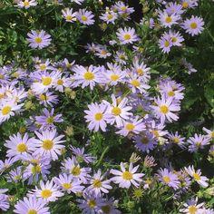 Kalimeris incisa 'Blue Star' or False Aster... now blooming in my garden 5-11-16