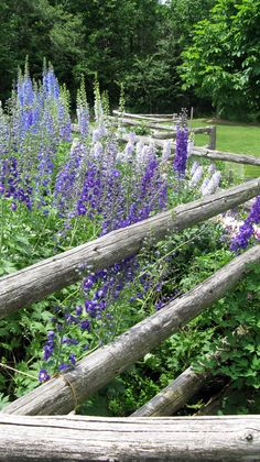 You can't have too many delphiniums.