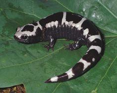 Marbled Salamander Images