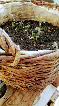 Sommerblumen - Saatband und Saatplatte