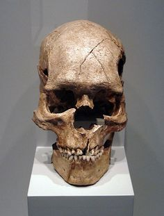 Skull of the fossil Homo sapiens sapiens from the Epipaleolithic of Combe Capelle    (See this fossil in Sapiens mobile app)