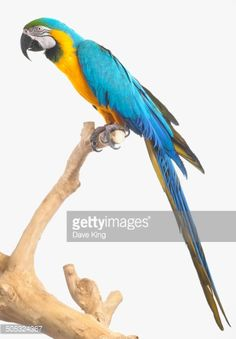 Blue And Yellow Macaw Blue And Gold Macaw Parrot Stock Photo ...