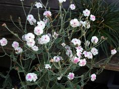 Lychnis coronaria 'Oculata' - with mostly white flowers instead of pink - specialplants.net