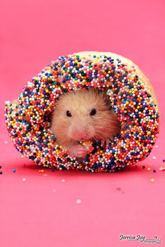 Hamster in a donut – awww! I hope they don't let him eat the whole thing tho… Hamster in a donut – awww! I hope they don't let him eat the whole thing though cuz he'll get hamster diabetes and die 🙁 Cute Little Animals, Cute Funny Animals, Funny Animal Pictures, Funny Cute, Cute Pictures, Hilarious, Chat Lion, Funny Hamsters, Tier Fotos
