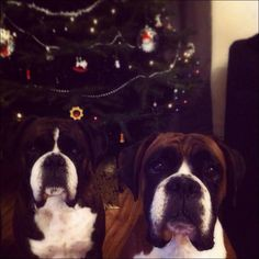 Caroline Ross's dogs, Abbie & Megan #treefie #Christmas