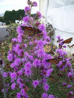 Flower Garden Ideas Illinois prairie phlox, another native flower garden favorite. this