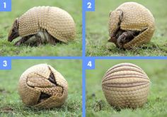 Armadillo facts! Very interesting stuff. Armadillos have four babies at a time, always all the same sex. They are perfect quadruplets, the fertilized cell split into quarters, resulting in four identical armadillos.