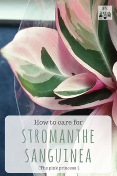care & info How to grow Stromante sanguinea (for a pop of pink!)How to grow Stromante sanguinea (for a pop of pink!)sanguinea care & info How to grow Stromante sanguinea (for a pop of pink!)How to grow Stromante sanguinea (for a pop of pink! Colorful Plants, Tropical Plants, Outdoor Plants, Garden Plants, Plants Indoor, Indoor Herbs, Potted Plants, Air Plants, Cactus Plants