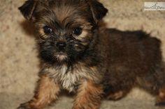 Shorkie-puppy: Yorkie & Schnauzer mix