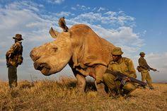 Soldados cuidando al último macho de rinoceronte blanco en el mundo  brent-stirton-white-rhino_tcm86-1294704