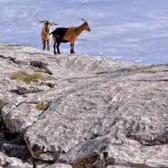 Cabras en Picos de Europa #Cantabria #Spain #Travel