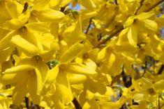 Az aranycserje 3-4 méteres aranysárga virágú dúsan virágzó, igénytelen cserje. Tavasszal elsőként virágzik. Ágait március - áprilisban látványosan borítják ragyogó sárga virágai.