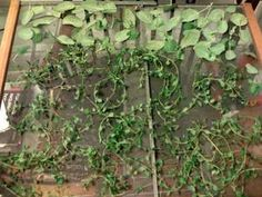 Harvesting and Preserving Herbs: screen drying, bunch drying, bag drying, and oven drying :: how to at the link