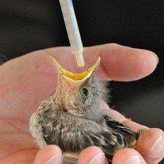 Feeding a baby bird