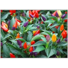 Bolivian Rainbow Chile Pepper Seeds (Heirloom Organic -20 seeds Packet )  Bolivian Rainbow plants grow 2-3 feet tall. Grown for centuries in Bolivia, this searingly hot and flavorful Chile turns from