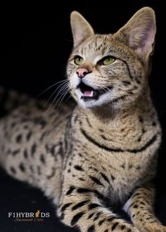 Savannah Cats hold the Guinness Book World Record for the Worlds Tallest Domestic Cat. get some yourself some pawtastic adorable cat shirts, cat socks, and other cat apparel by tapping the pin! Le Savannah, American Bobtail Cat, Domestic Cat Breeds, Ocicat, Serval Cats, Herding Cats, Exotic Cats, Exotic Fish, Cat Vs Dog
