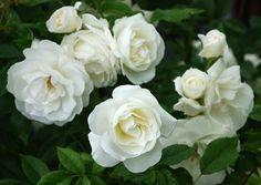 Pool Infinity Edge Border Floribunda Roses - Louies Kindergarten & Gartencenter Riverside CA Lou Climbing Roses, Garden Shrubs, Garden Plants, Flower Gardening, Organic Gardening, White Roses, White Flowers, Floribunda Roses, Gardens