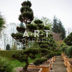 Pinus leucodermis bons250-300,W110x110
