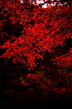 Red Leaves, Kyoto, Japan photo via jennifer Preto Wallpaper, Plakat Design, Red Leaves, Autumn Leaves, Maple Leaves, Fall Trees, Simply Red, Japan Photo, Red Aesthetic