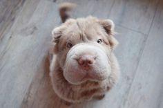 Meet Tonkey: The Shar Pei Puppy Who Looks Like A Teddy Bear