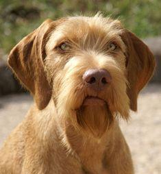 The most bueatiful dog - What a face! - Koppertone Vizslas