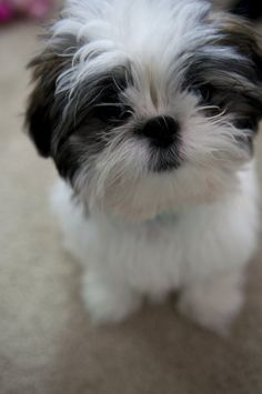 I can't wait until this summer when i get to see my Shih Tzu. Her name is Ginny. She's named after Ginny in Harry Potter <33333