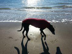 Greyhound on the beach ♥