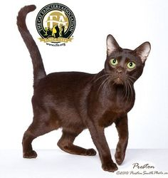 This lovely brown cat originated in England as the result of planned breedings between Siamese and domestic black cats by a number of devoted English cat fanciers whose general goal was to produce a self-brown cat.