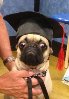 Grumpy pug graduate
