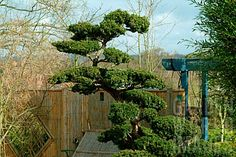 Yew Taxus Cloud-Pruned   The gardening thread