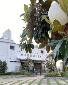 Waco Texas, Autumn Display, Magnolia, Amy, Plants, Instagram, Magnolias, Plant, Planets