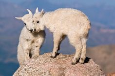 Life is better with friends -- and it looks like these two baby mountain goats agree.