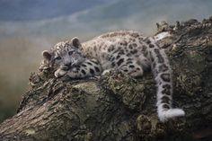 rare Snow leopard cub