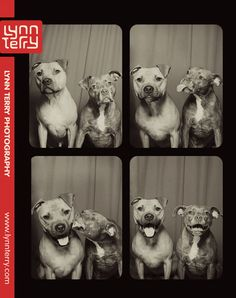 Pit Bulls in Photo Booth 2  11x14 Lustre Print by lynnterryimages, $35.00