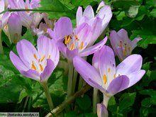 Herbář Wendys - Colchicum autumnale - ocún jesenní Gardening, Plants, Lawn And Garden, Plant, Planets, Horticulture