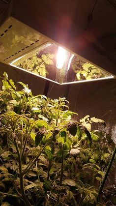 Our cherry plant reaching for the Hydroponic Supplies, Hydroponics, Cherry, Indoor, Garden, Plants, Interior, Garten, Gardens