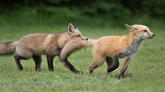 Red Foxes by Vlad Kamenski