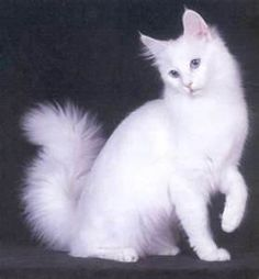 The Turkish Angora is a breed of domestic cat. Turkish Angoras are one of the ancient, natural breeds of cat, having originated in central Turkey, in the Ankara region (historically known as Angora). The breed has been documented as early as the 1600s and is believed to be the origin of the mutations for both the coloration white (the dominant white gene is in truth the absence of color) and long hair. The breed is also sometimes referred to as simply the Angora or Ankara cat,