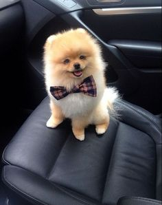 The Pom In The Little Bow Tie | The 40 Most Influential Poms Of 2013 #pomeranian
