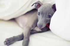 Italian greyhound ♥